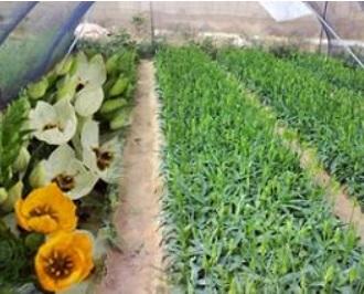 הרחבת שטחי גידול לפרחי הדוביום